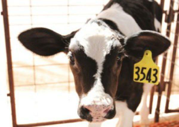 cow1-300x225