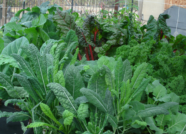 Home food gardens are achievable with aquaponics.