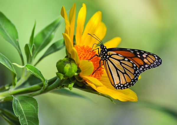 Monarch on Mexican Sunflower-resize