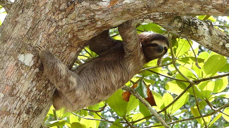 Three toed sloth by Javier Mazzeo on Unsplash.