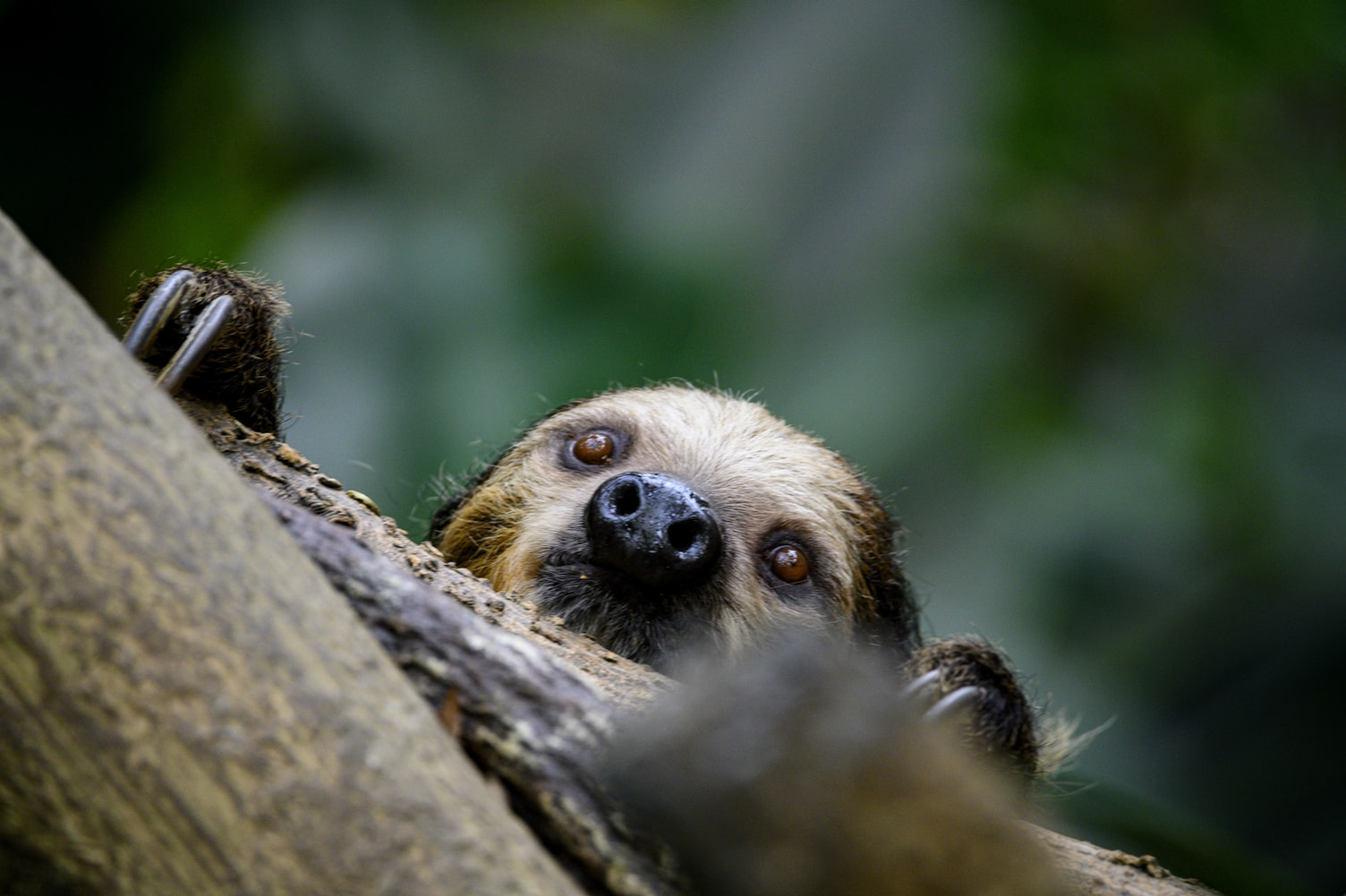 Two Toed Sloth by William Phipps on Unspalsh.