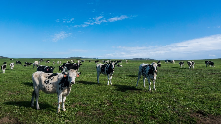 Cows by Michael Pujals on Unsplash